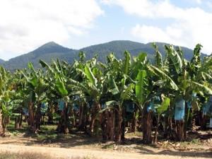 Banán ültetvény.